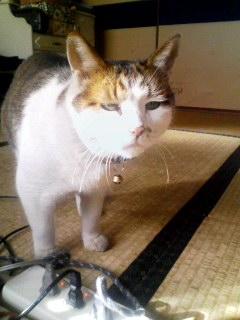 実家の御猫さま。