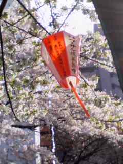 目黒の桜、咲き乱れて。